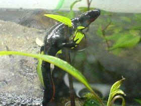 Cynops Orientalis Female