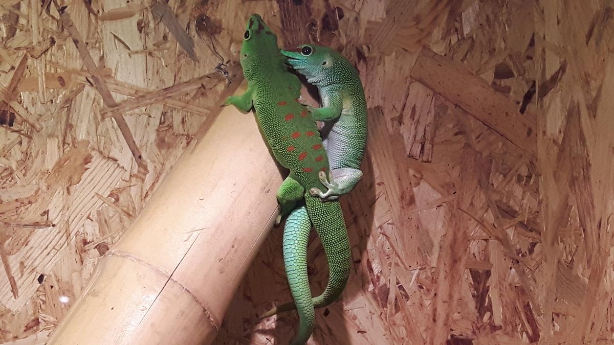 Paarung von Großen Madagaskar Taggeckos