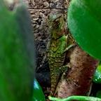 1,0 Acanthosaura armata CB 17