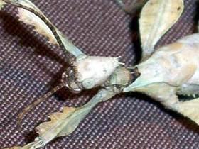 Austral. Gespenstschrecke