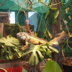 Iguana iguana Männchen