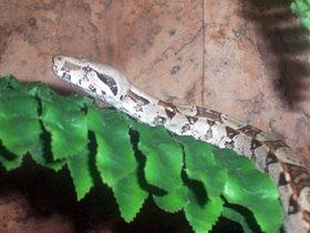 Boa constrictor Baby