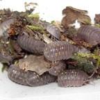 Armadillidium granulatum