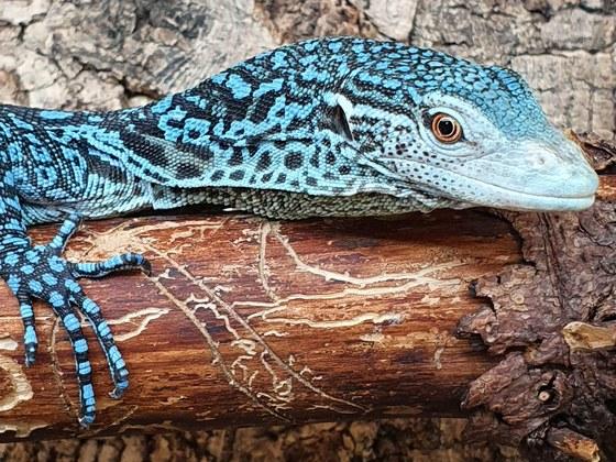 Varanus macraei (Blauer Baumwaran)