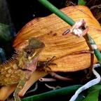 0,1 Acanthosaura armata CB 17