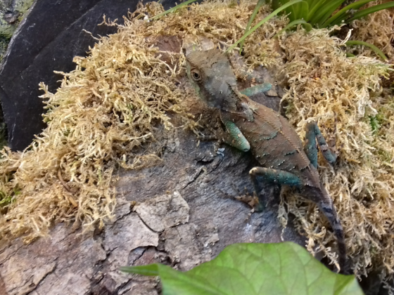 Acanthosaura lepidogaster CB17
