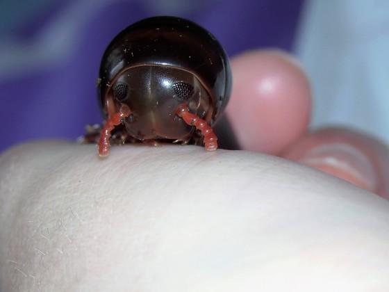 Pelmatoiulus ligulatus
