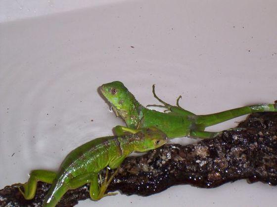 Igor und Dr. Banner beim baden