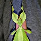 Adultes Phyllium Phillipinicum Weibchen