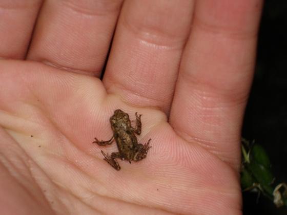 Der Frosch in England