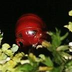 Centrobolus Splendidus